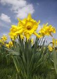Gele narcissen stock afbeeldingen