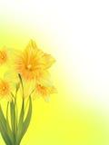 Gele narcissen Royalty-vrije Stock Afbeelding