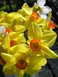 Gele narcissen 3 Stock Afbeeldingen