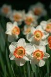 Gele narcissen Stock Foto's