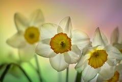 Gele narcissen. Royalty-vrije Stock Afbeeldingen