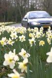 Gele narcissen in berm Stock Foto's