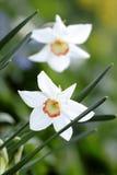 Gele narcissen in Bloei in de Lente Royalty-vrije Stock Foto