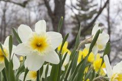 Gele narcissen in de de lentetijd Royalty-vrije Stock Foto's