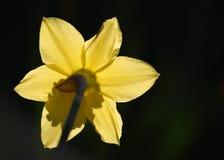 Gele narcissen in de de lentezonneschijn Royalty-vrije Stock Foto's