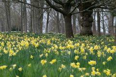 Gele narcissen in de heuvels en de tuinen van Surrey Royalty-vrije Stock Foto