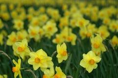 Gele narcissen in de Lente Stock Afbeeldingen