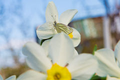 Gele narcissen in de tuin Royalty-vrije Stock Foto's
