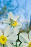 Gele narcissen in de tuin Royalty-vrije Stock Afbeeldingen