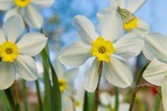 Gele narcissen in de tuin Royalty-vrije Stock Foto