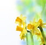 Gele narcissen in detail op gekleurde achtergrond Stock Afbeelding