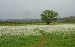 Gele narcissen die in de lentevallei bloeien stock fotografie