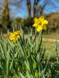 Gele narcissen die in de lentezonlicht bloeien stock afbeeldingen
