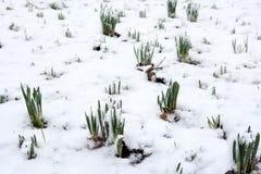 Gele narcissen die door sneeuw te voorschijn komen Stock Afbeeldingen