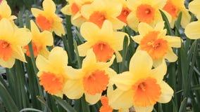 Gele narcissen die zich in lichte wind bewegen stock footage