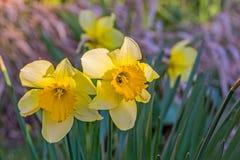 Gele gele narcissen in een de lentetuin in de avond zon Stock Afbeelding