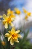 Gele narcissen in een rij met korte diepte van gebied Stock Foto