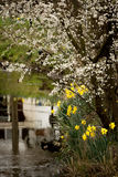 Gele narcissen en bloesem op de rivierbank Royalty-vrije Stock Foto