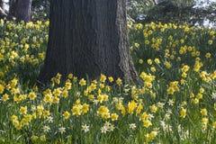 Gele narcissen en Eik Royalty-vrije Stock Afbeeldingen