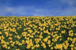 Gele narcissen en hemel Royalty-vrije Stock Foto