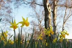 Gele narcissen en naakte bomen stock afbeeldingen