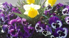 Gele narcissen en pansies royalty-vrije stock afbeelding
