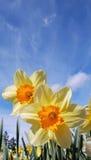 Gele narcissen en Zonneschijn Royalty-vrije Stock Foto