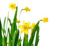 Gele narcissen of gele narcissen Stock Afbeeldingen