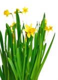 Gele narcissen of gele narcissen Stock Fotografie