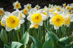 Gele narcissen in het bloeien Royalty-vrije Stock Fotografie