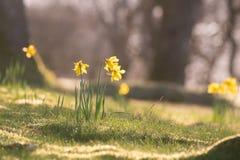 Gele narcissen in het ochtendzonlicht Stock Afbeeldingen