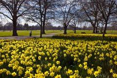 Gele narcissen in Hyde Park Royalty-vrije Stock Foto's