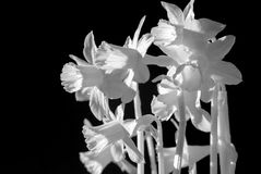 Gele narcissen in Infrared Royalty-vrije Stock Fotografie