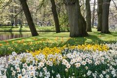Gele narcissen in Keukenhof, de Nederlandse Openbare Tuin van de Lentebloemen stock afbeelding