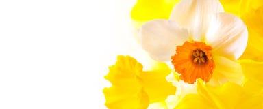 Gele narcissen met exemplaarruimte Royalty-vrije Stock Afbeeldingen
