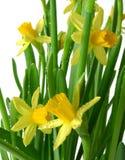 Gele narcissen met het detail van regendalingen Royalty-vrije Stock Fotografie