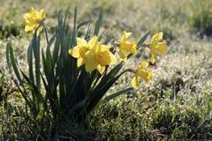 Gele narcissen met ochtenddauw Stock Fotografie