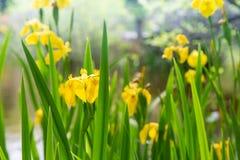 Gele gele narcissen naast een vijver royalty-vrije stock fotografie