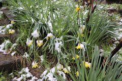 Gele gele narcissen onder de sneeuw, gele gele narcissen en sneeuw royalty-vrije stock fotografie