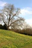 Gele narcissen op een groene helling, naakte bomen in de lente Stock Foto