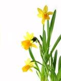 Gele narcissen op wit stock afbeelding
