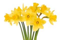 Gele narcissen op Wit Stock Afbeeldingen