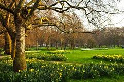 Gele narcissen in St. James Park Royalty-vrije Stock Afbeeldingen