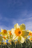Gele narcissen tegen blauwe hemel Stock Foto's