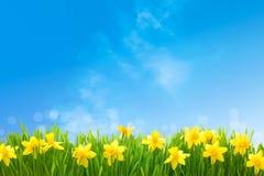 Gele narcissen tegen blauwe hemel Royalty-vrije Stock Foto