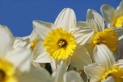 Gele narcissen tegen Blauwe Hemel stock foto