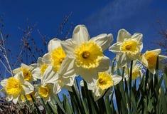 Gele narcissen tegen een blauwe hemel stock foto