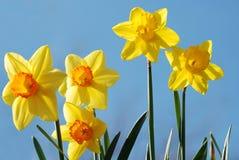 Gele narcissen tegen een blauwe hemel Royalty-vrije Stock Foto's