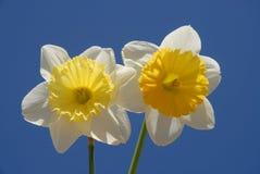 Gele narcissen tegen een blauwe hemel royalty-vrije stock afbeeldingen