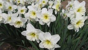 Gele narcissen in Tuin in de Lente stock videobeelden